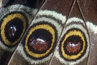 Close up on eye spots of Morpho butterfly (Morpho peleides)