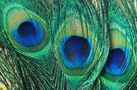 Close up of common Peafowl feathers {Pavo cristatus}
