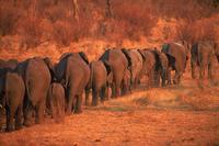 African elephant herd (Loxodonta africana) walking in line.