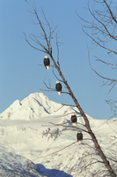 Four American bald eagles perched in tree{Haliaeetus leucoce