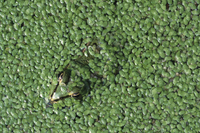 Looking down on European edible frog in pond weed (Rana escu