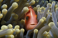 Pink anemonefish amongst anemone tentacles {Amphiprion perid
