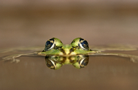 European edible frog eyes showing above water {Rana esculent
