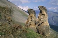 Alpine marmots on look out {Marmota marmota} Hohe Tauern NP,