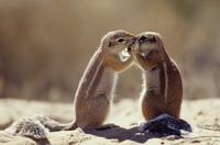Cape ground squirrel 'kissing' {Xerus inauris} Kgalagadi TP,