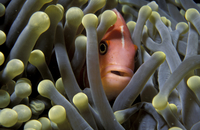 Pink anemonefish {Amphiprion perideraion} in anemone. Palau,