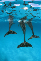 Atlantic spotted dolphins abstract underwater {Stenella fron