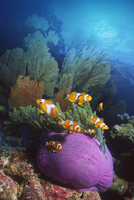 False clown anemonefish {Amphiprion ocellaris} in anemone. D