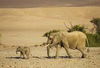 African elephant + calf walk across desert {Loxodonta africa 20070000323  写真素材・ストックフォト・画像・イラスト素材 アマナイメージズ