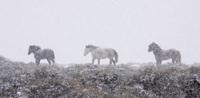 Mustang / Wild horse - mares + stallion in snow storm, Wyomi