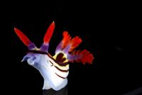 Nudibranch {Nembrotha purpureolineolata} Lembeh Strait, Indo