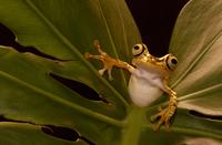 Chachi tree frog {Hyla picturata} Choco forest, Ecuador