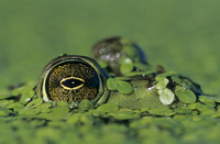 Close-up of a Bullfrog eye {Rana catesbeiana} with head camo