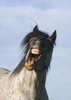 Blue Roan Wild Stallion yawning {Equus caballus}  Pryor Moun