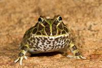 Chacoan / Ornate Horned Frog {Ceratophrys cranwelli} Captive
