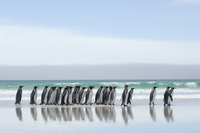 Group of King penguins {Aptenodytes patagonicus} walking in