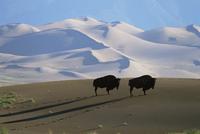 Bison {Bison bison} on sand dunes, Medano Zapata Ranch, San