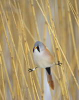 Bearded Tit (Panurus biarmicus) male amongst reeds with legs