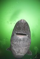 ニシオンデンザメ