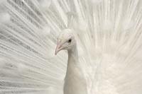 Albino India blue Peafowl {Pavo cristatus}
