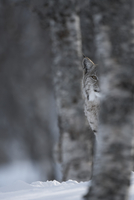 European Lynx (Lynx lynx) adult female peering out from behi