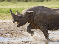 Black rhinoceros {Diceros bicornis} charging with mouth open