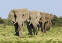 African elephant {Loxodonta africana} bulls walking in line,
