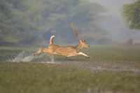 Chital / Spotted Deer (Axis / Cervus axis) male leaping thro 20070000506| 写真素材・ストックフォト・画像・イラスト素材|アマナイメージズ