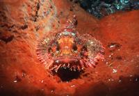 Scorpionfish {Scorpaenidae} camouflaged on sponge. Bunaken N