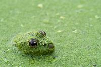 Young Edible frog (Rana esculenta) amongst Duckweed (Lemnace