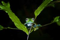 White spotted glass frog {Cochranella albomaculata} portrait 20070000520| 写真素材・ストックフォト・画像・イラスト素材|アマナイメージズ