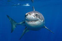 Great white shark (Carcharodon carcharias) underwater, Guada