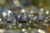 Moor frog (Rana arvalis) group of males in water, Germany