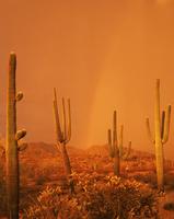 Saguaro Cacti (Carnegiea gigantea) in a summer storm at suns