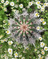 Young Cardon Cactus (Pachycereus pringlei) amid flowering Ro