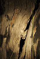 Small Spotted Genet (Genetta genetta) poking head out of a t