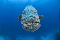 Potato grouper (Epinephelus tukula), Rowley Shoals, Western