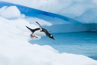 Gentoo penguin (Pygoscelis Papua) jumping off an iceberg, we