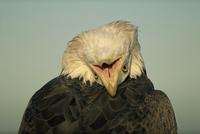 American bald eagle {Haliaeetus leucocephalus} looking backw