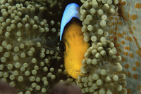 Orange-fin anemonefish (Amphiprion chrysopterus) amongst ane