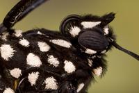 Close-up of Monarch butterfly (Danaus plexippus) head, recen