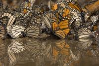 Monarch butterflies (Danaus plexippus) drinking from pool of