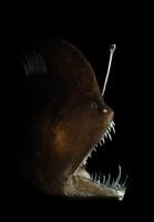 Murrays abyssal anglerfish (Melanocetus murrayi) Atlantic oc 20070000650  写真素材・ストックフォト・画像・イラスト素材 アマナイメージズ