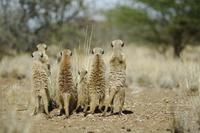 Meerkat (Suricata suricatta) rear view of group standing on