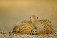 Meerkat (Suricata suricatta) juvenile peering out from under