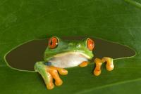 Red-eyed Tree Frog (Agalychnis callidryas) looking through h