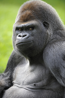 Male silverback western lowland gorilla (Gorilla gorilla gor