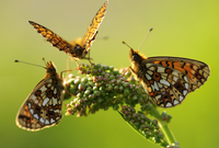 Three Small pearl-bordered fritillary butterflies{Boloria se