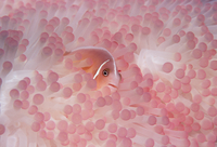 Pink anemonefish (Amphiprion perideraion) in host anemone. P