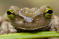 Tree frog {Hyla sp} face portrait, Tambopata National Reserv